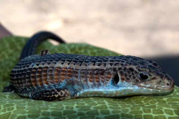 sudanese plated lizard